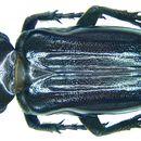 Image of <i>Coenochilus maurus</i> (Fabricius 1801)