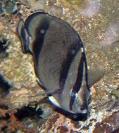 Image of Three-banded butterflyfish