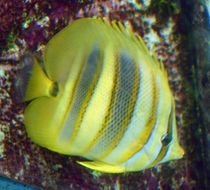 Image of Rainford's Butterflyfish