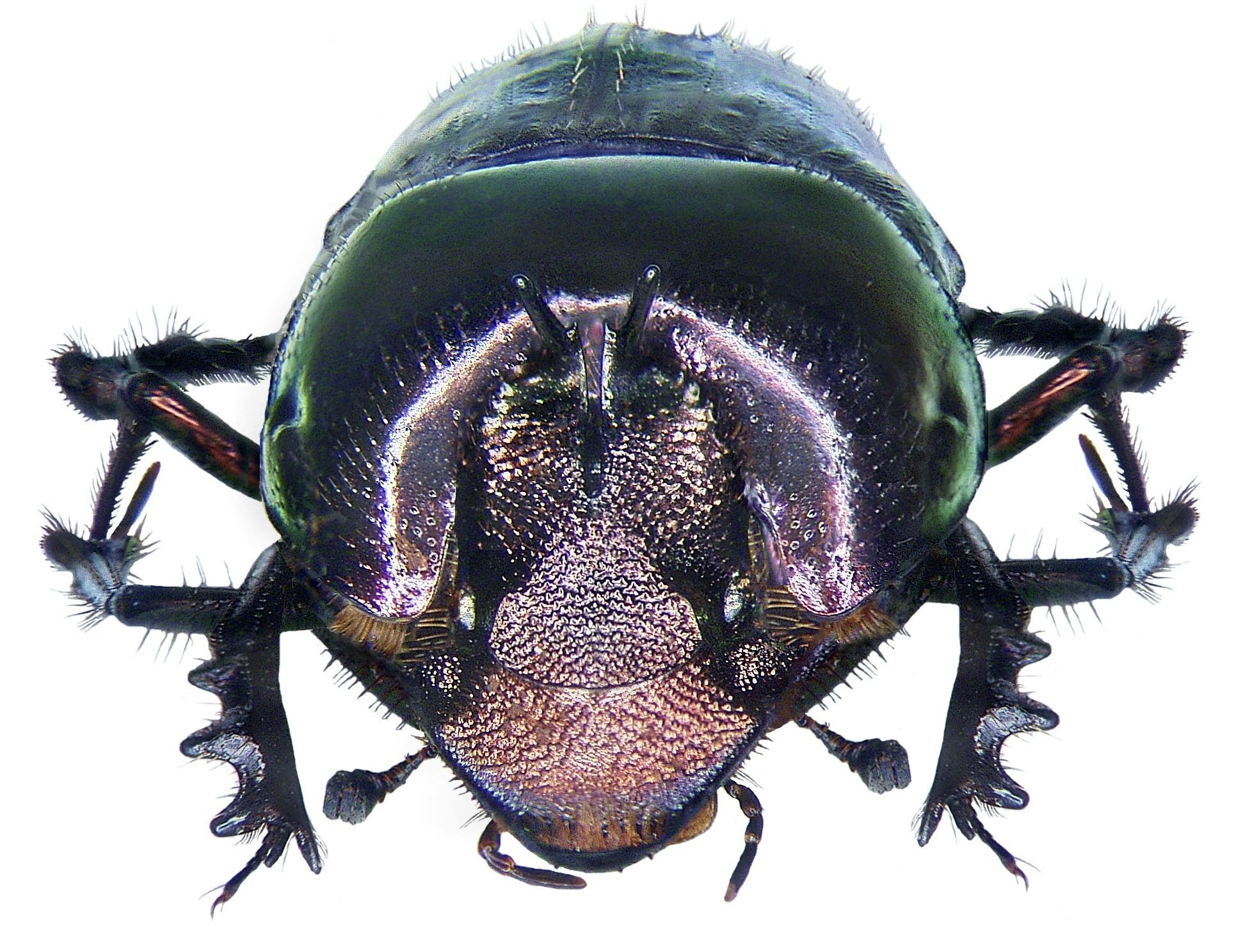 Image of <i>Phalops aurifrons</i> (Fairmaire 1884)