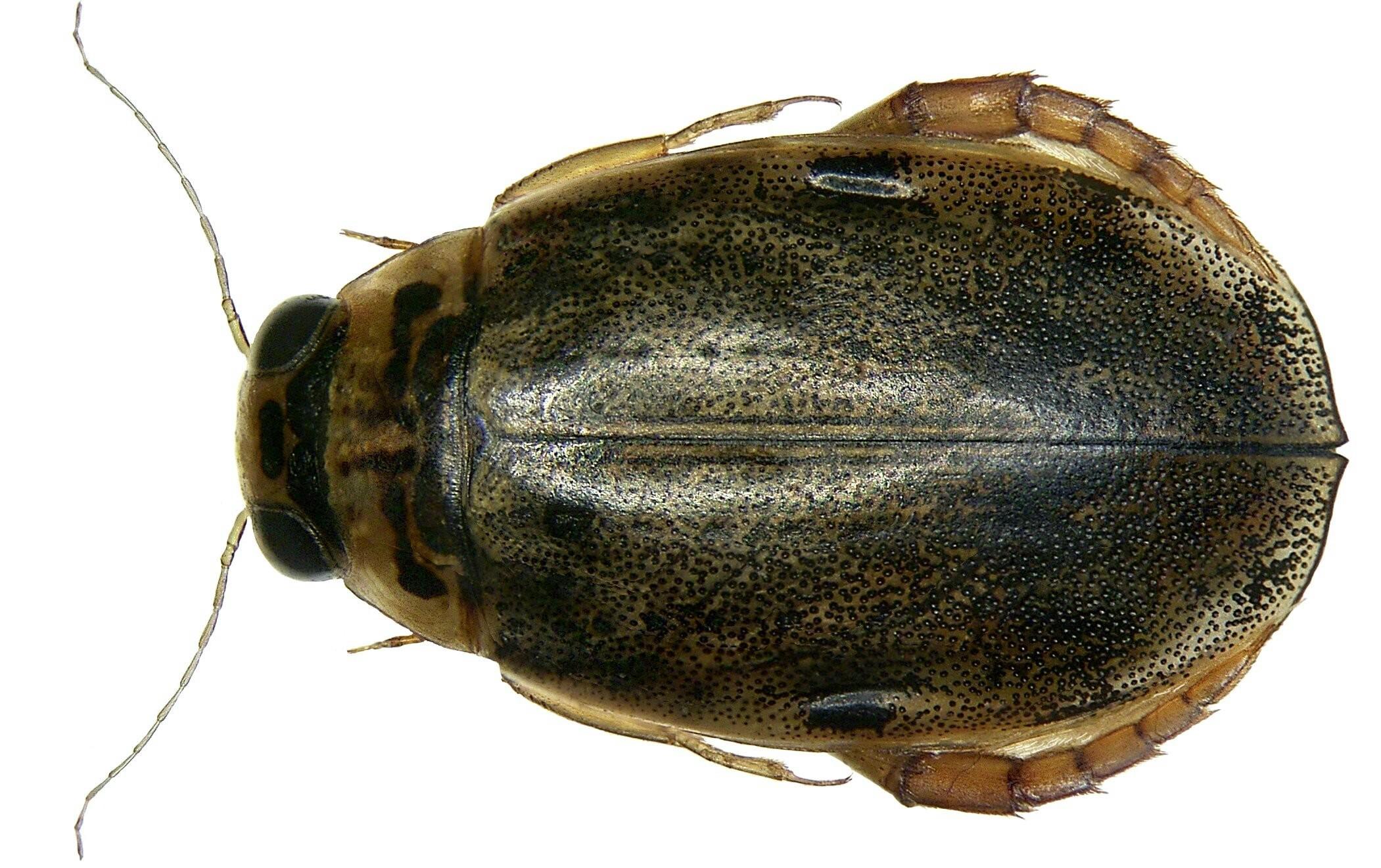 Image of <i>Eretes griseus</i> (Fabricius 1781)