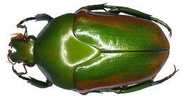 Image of <i>Megaphonia beccarii</i> (Gestro 1874)