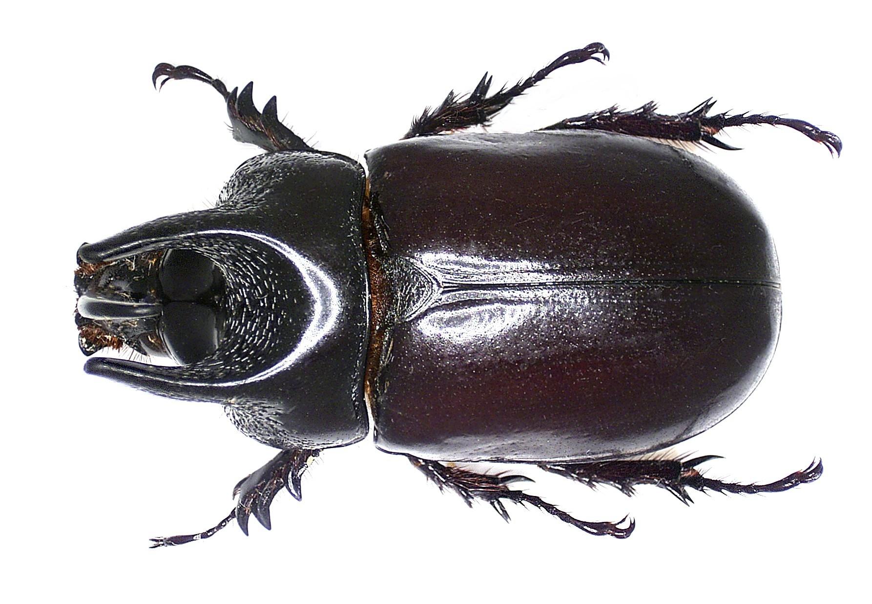 Image of <i>Scapanes australis brevicornis</i> Sternberg 1908