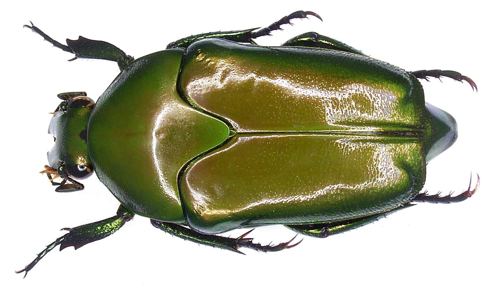 Image of <i>Lomaptera batchiana</i> Thomson 1860