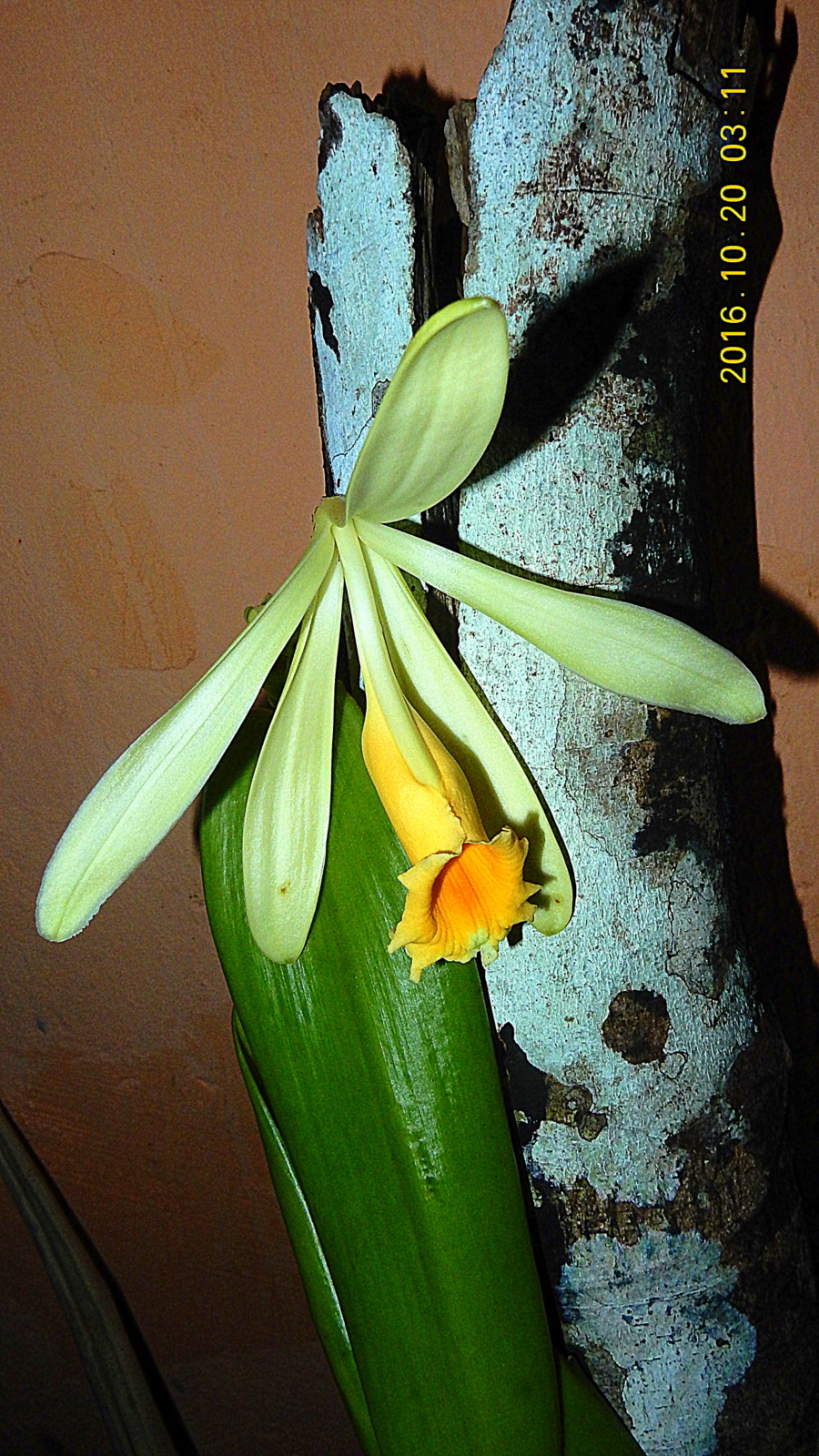 Image of West Indian vanilla