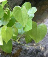Image of <i>Borderea chouardii</i>