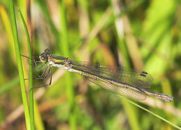 Image of Common Spreadwing
