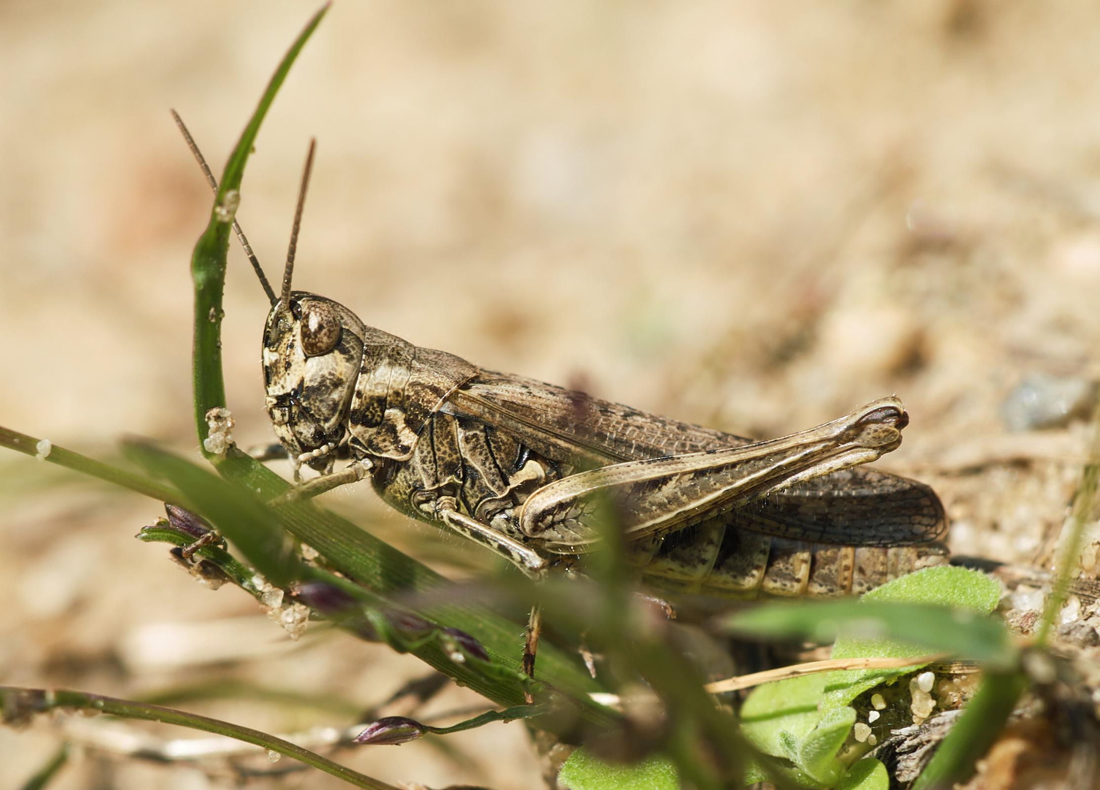 Image of Common Field Grasshopper