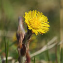 Image of coltsfoot