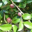 Image of Sasanqua camellia