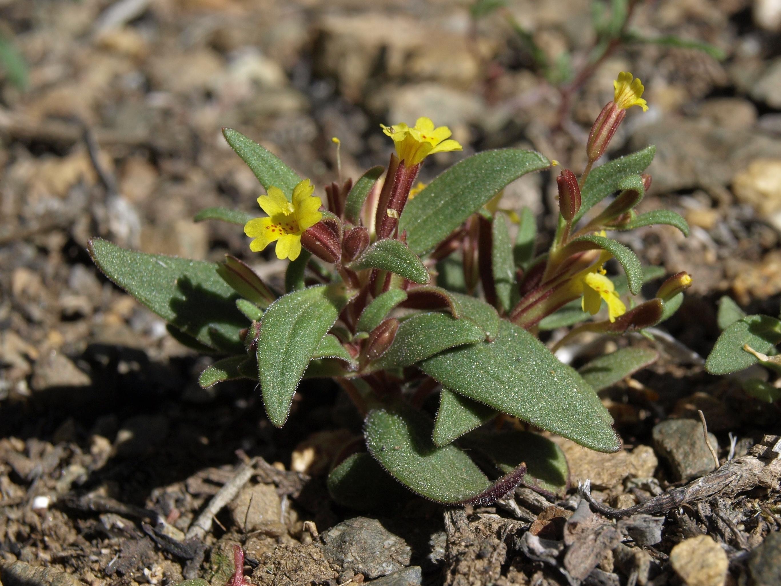 Image of <i>Erythranthe suksdorfii</i>