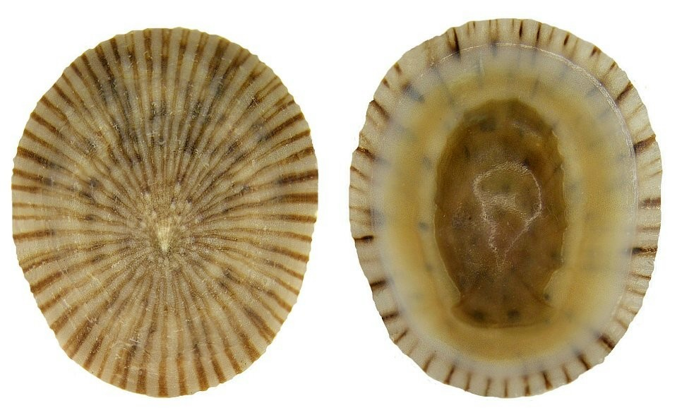 Image of <i>Collisella antillarum</i>