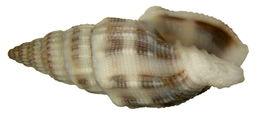 Image of <i>Vexillum acupictum</i> (Reeve 1845)