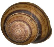Image of <i>Sphaerospira appendiculata</i> (Reeve 1854)