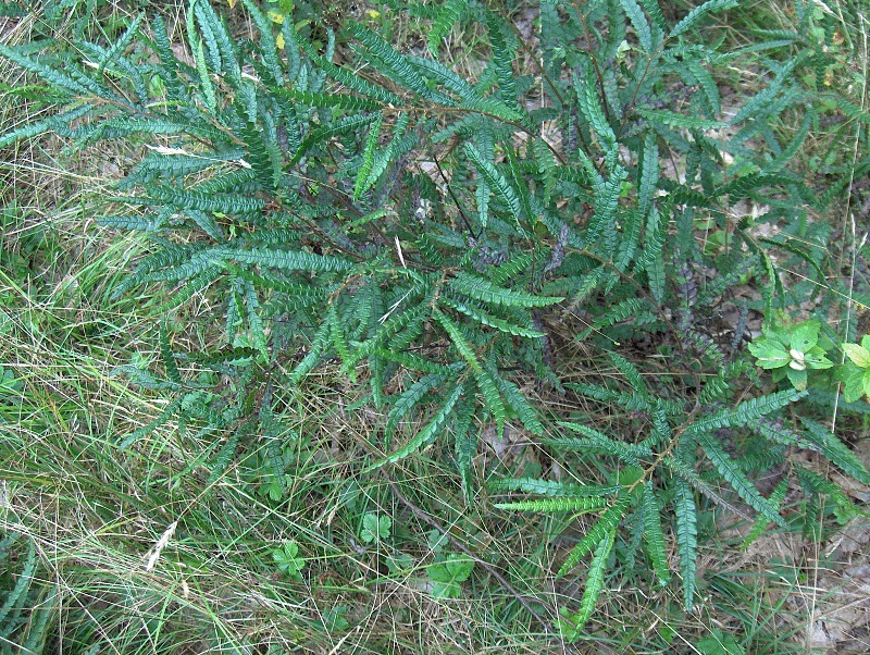 Image of Sweetfern