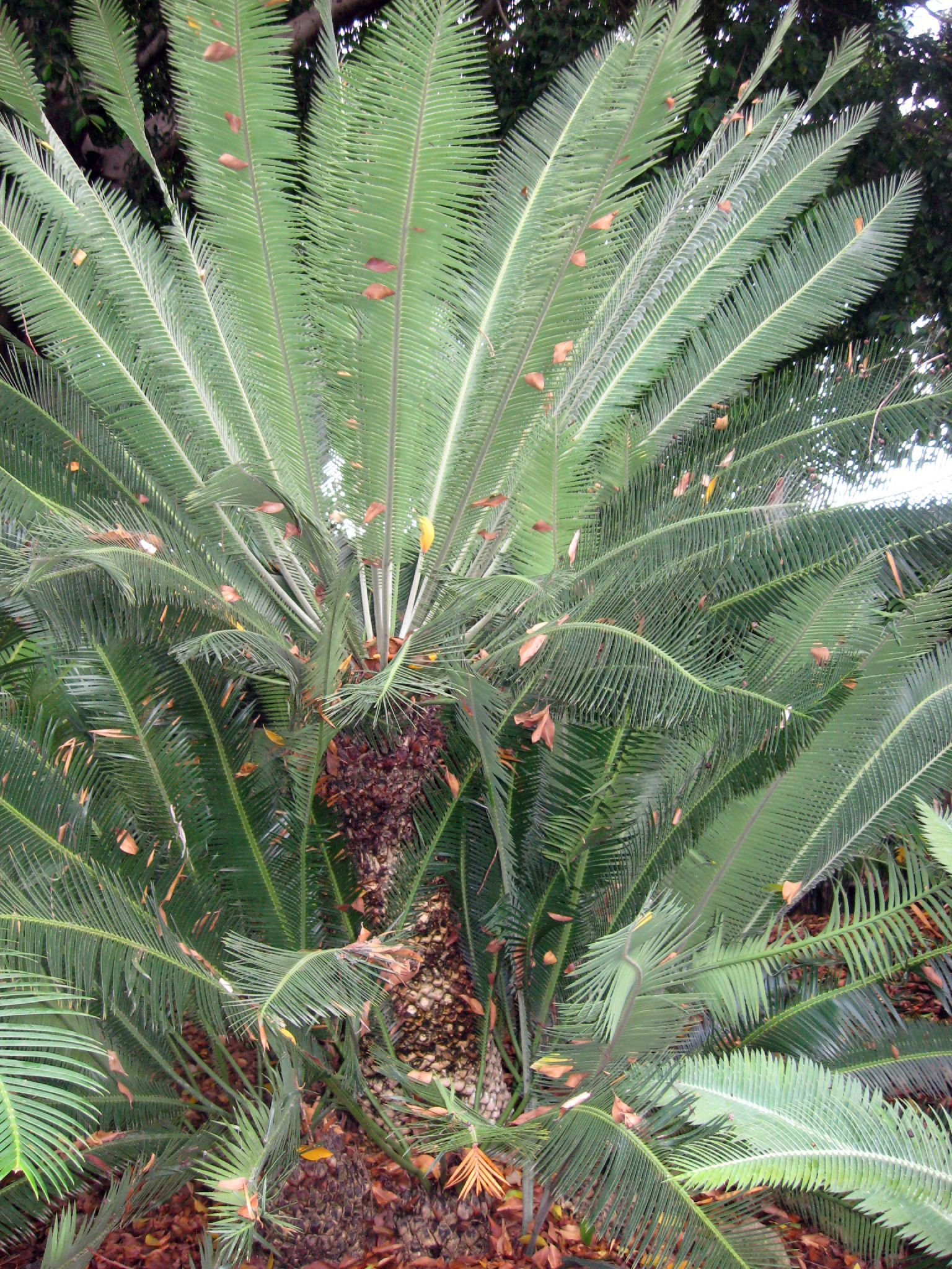 Image of Cycad