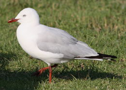 Image of red-billed gull