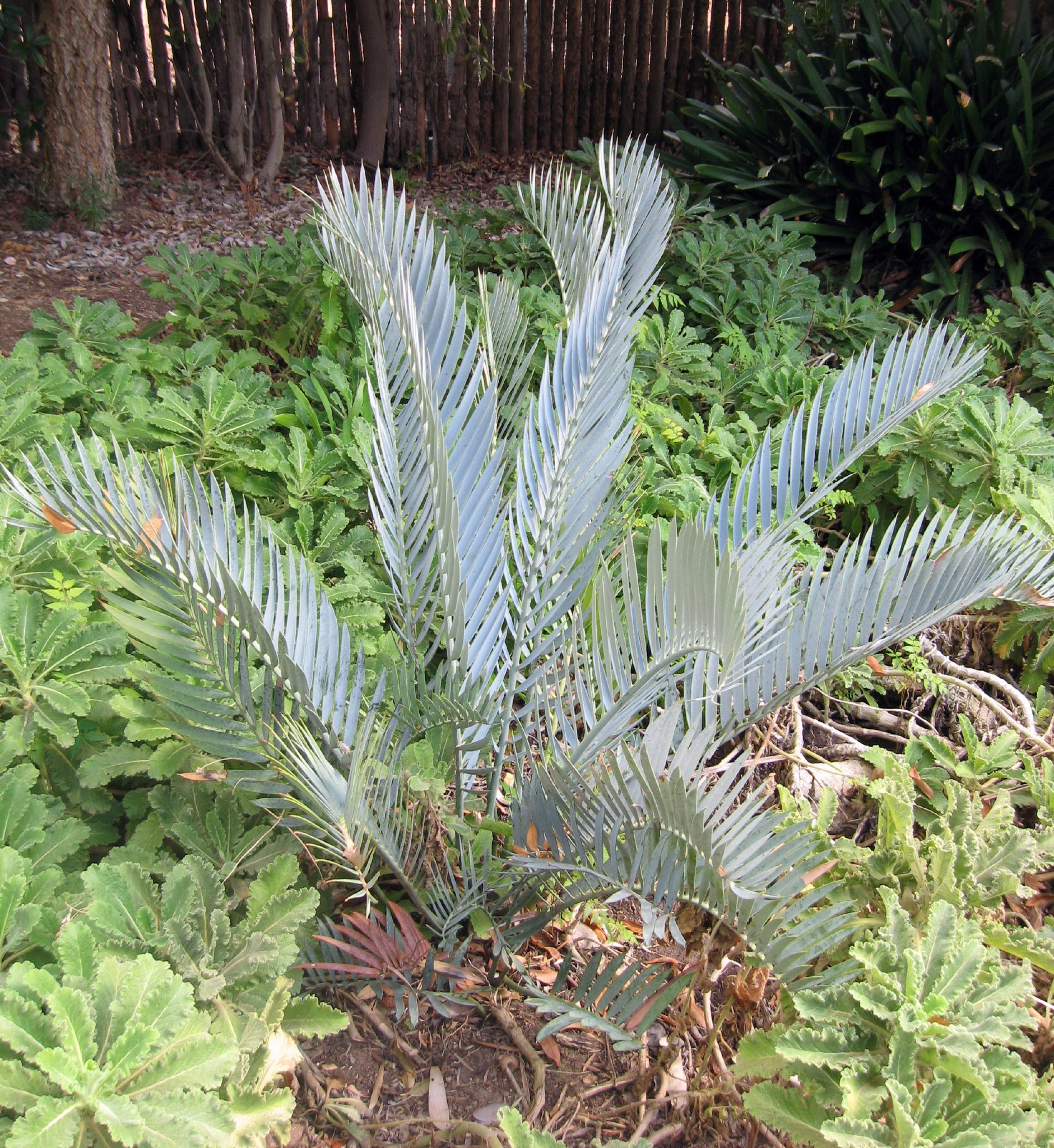 Image of <i>Encephalartos lehmanii</i>