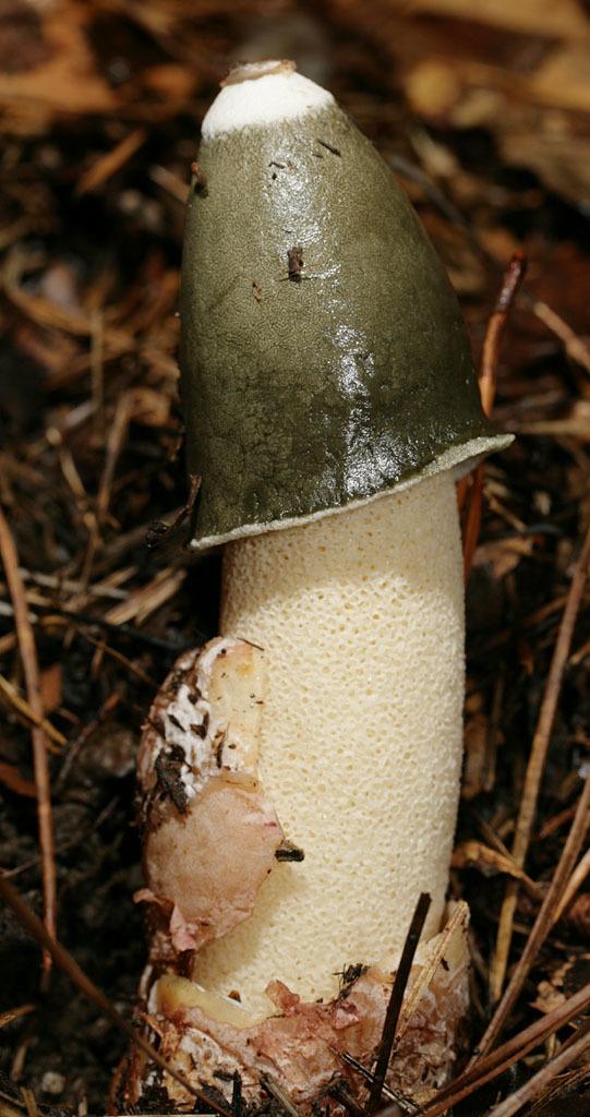 Image of <i>Phallus ravenelii</i> Berk. & M. A. Curtis 1882