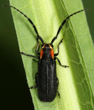 Image of <i>Hemierana marginata</i> (Fabricius 1798)