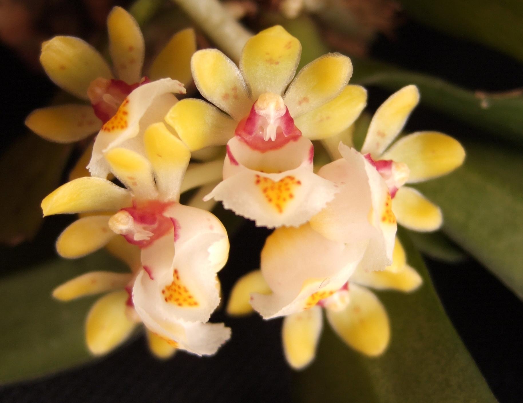 Image of <i>Gastrochilus japonicus</i> (Makino) Schltr.