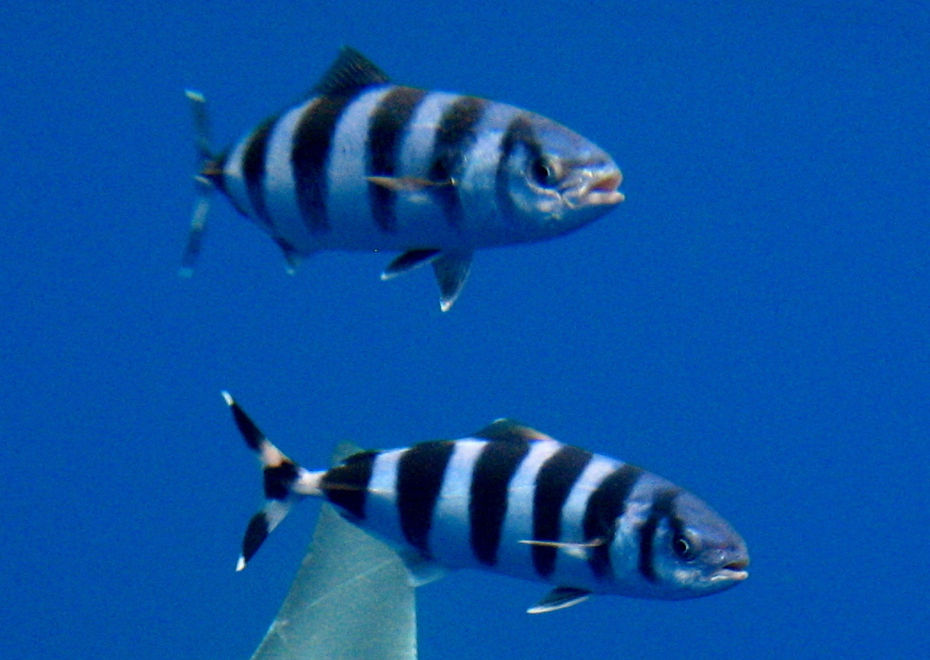 Image of Pilot Fish