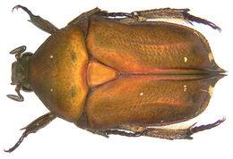 Image of <i>Protaetia</i> (<i>Netociomima</i>) <i>bipunctata</i> (Gory & Percheron 1833)