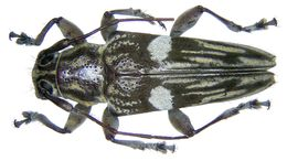 Image of <i>Trigonoptera bimaculata</i> Thomson 1865