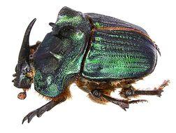 Image of <i>Coprophanaeus</i> (<i>Megaphanaeus</i>) <i>bonariensis</i> (Gory 1844)