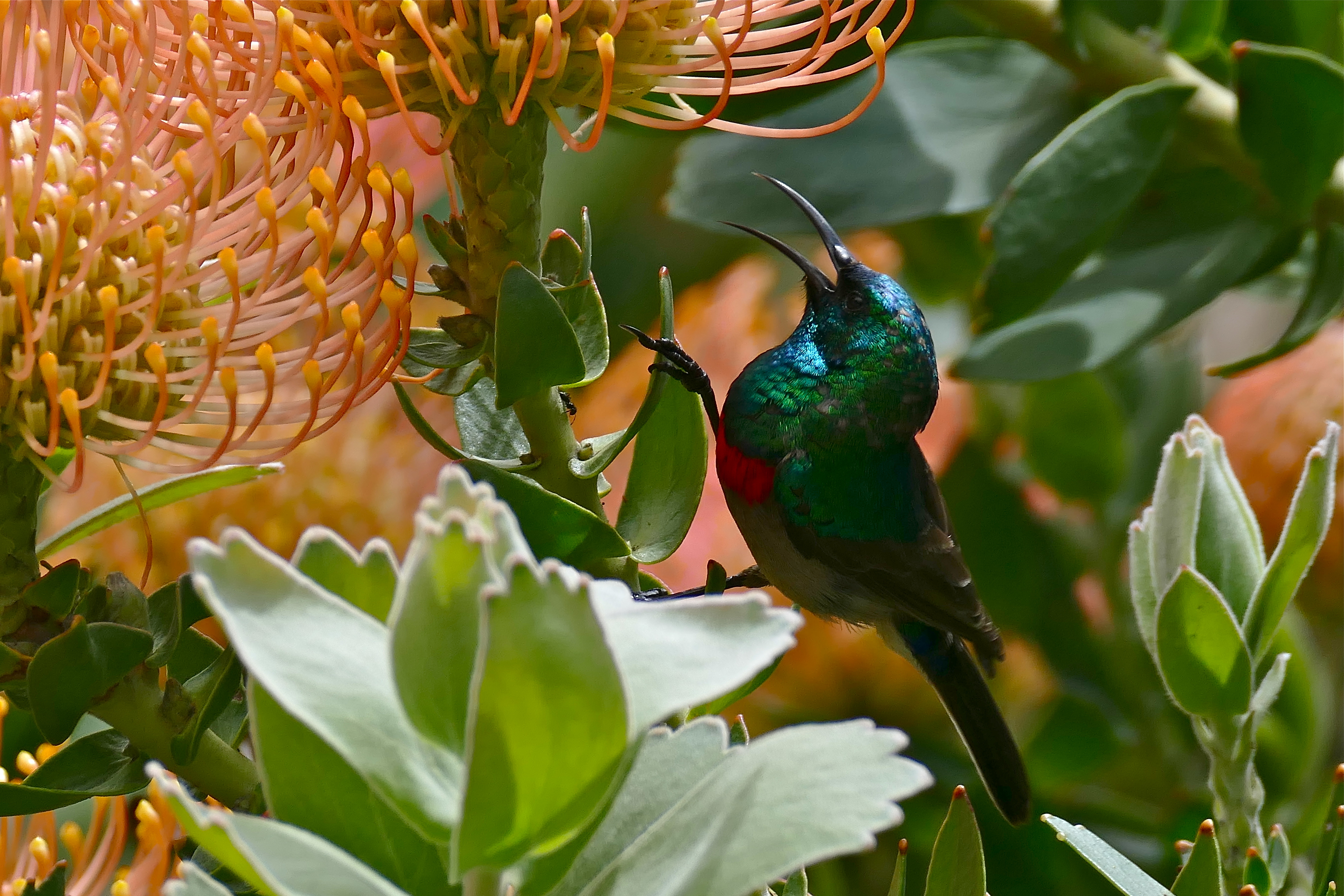 Image of Southern Double-collared Sunbird