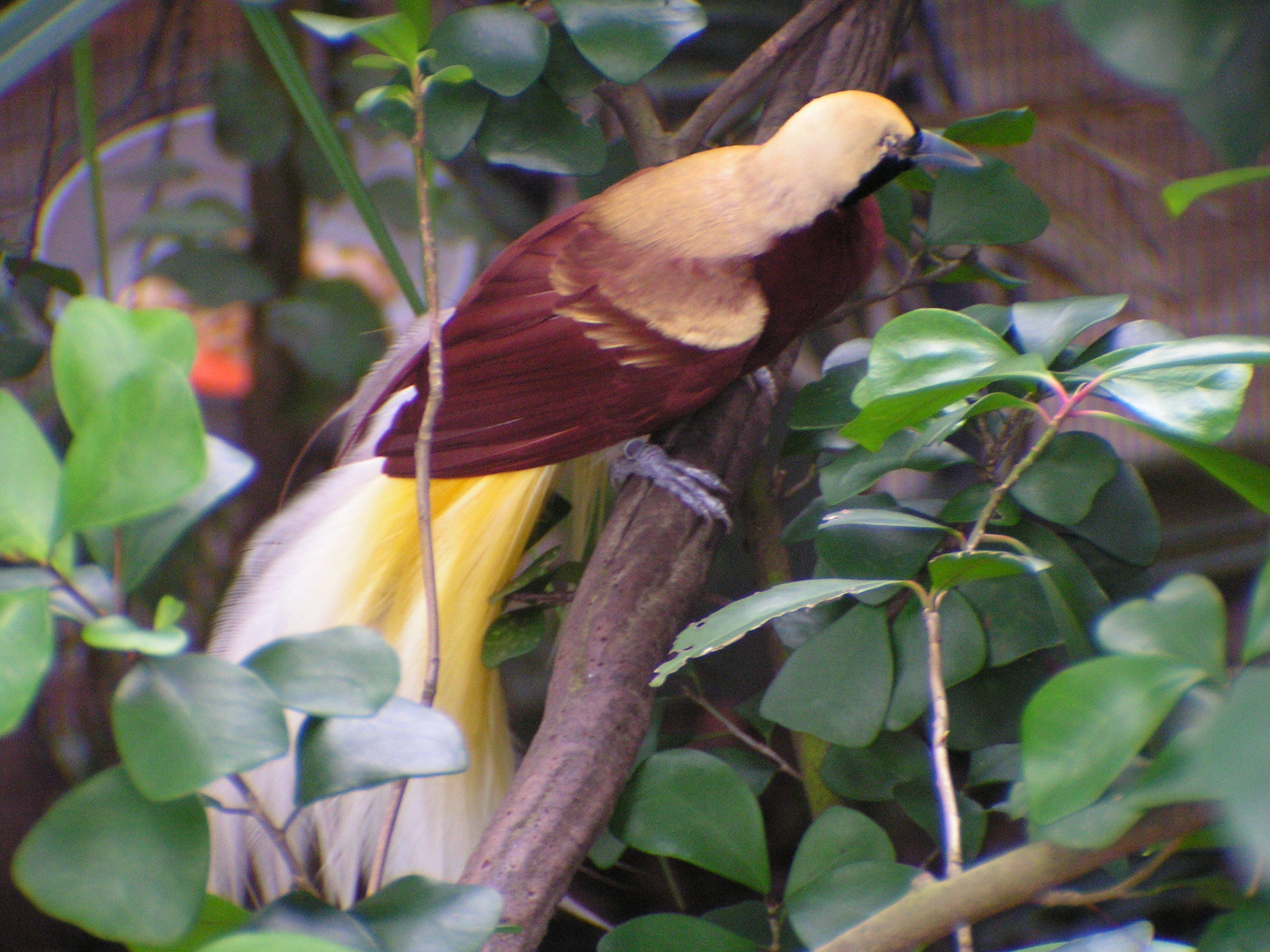 Image of Lesser Bird of Paradise