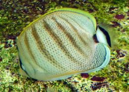 Image of Multiband Butterflyfish