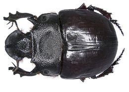 Image of <i>Heliocopris bucephalus</i> (Fabricius 1775)