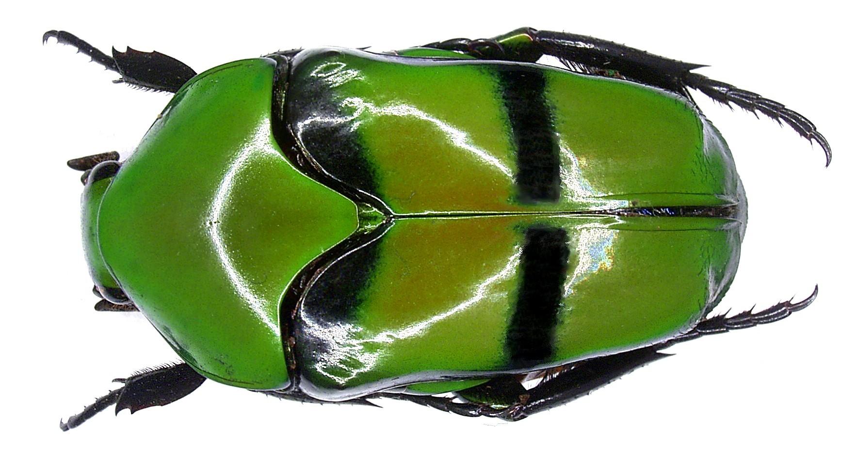 Image of <i>Lomaptera burgeoni</i> Valck Lucassen 1961