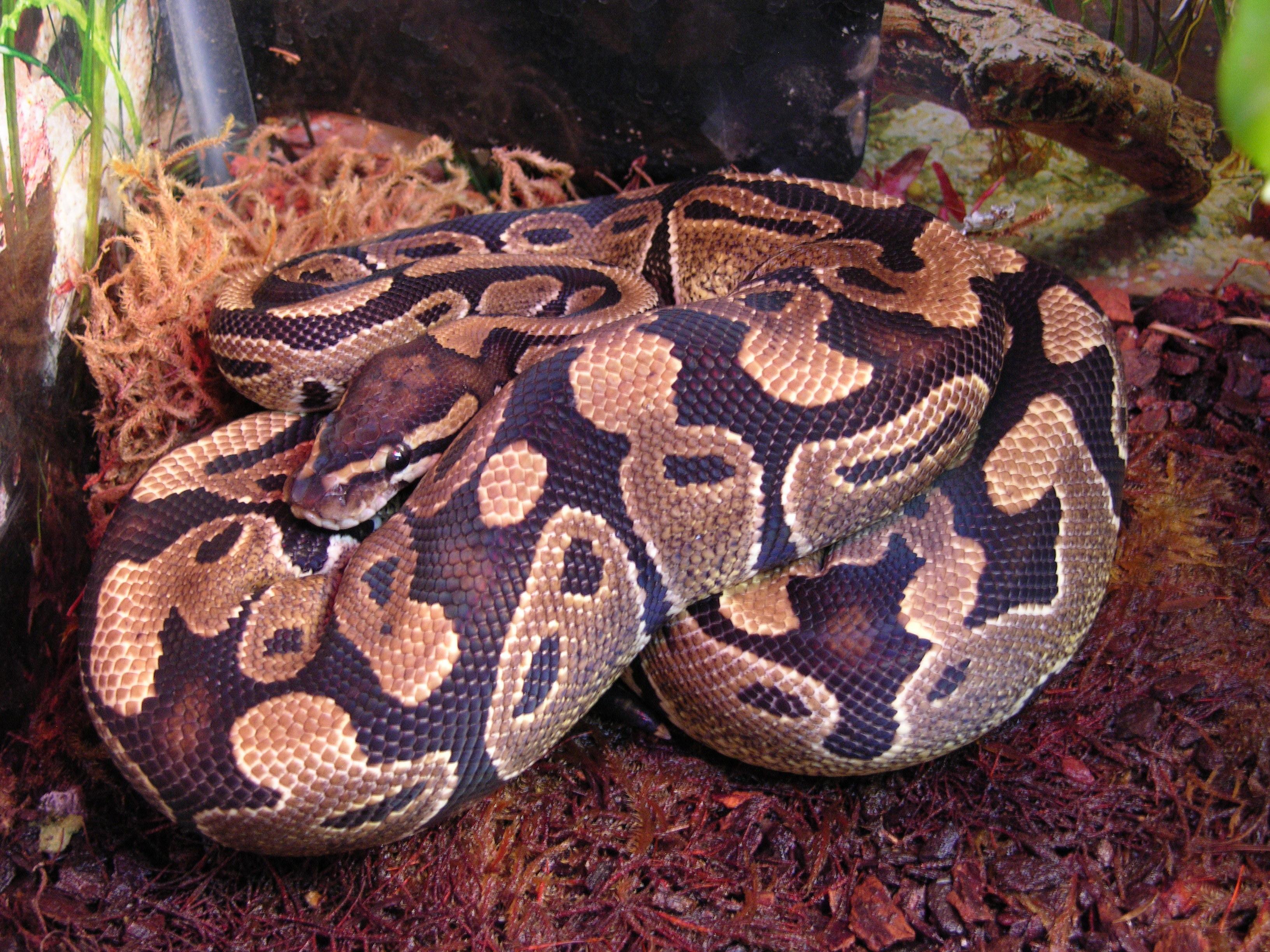 Image of Ball python