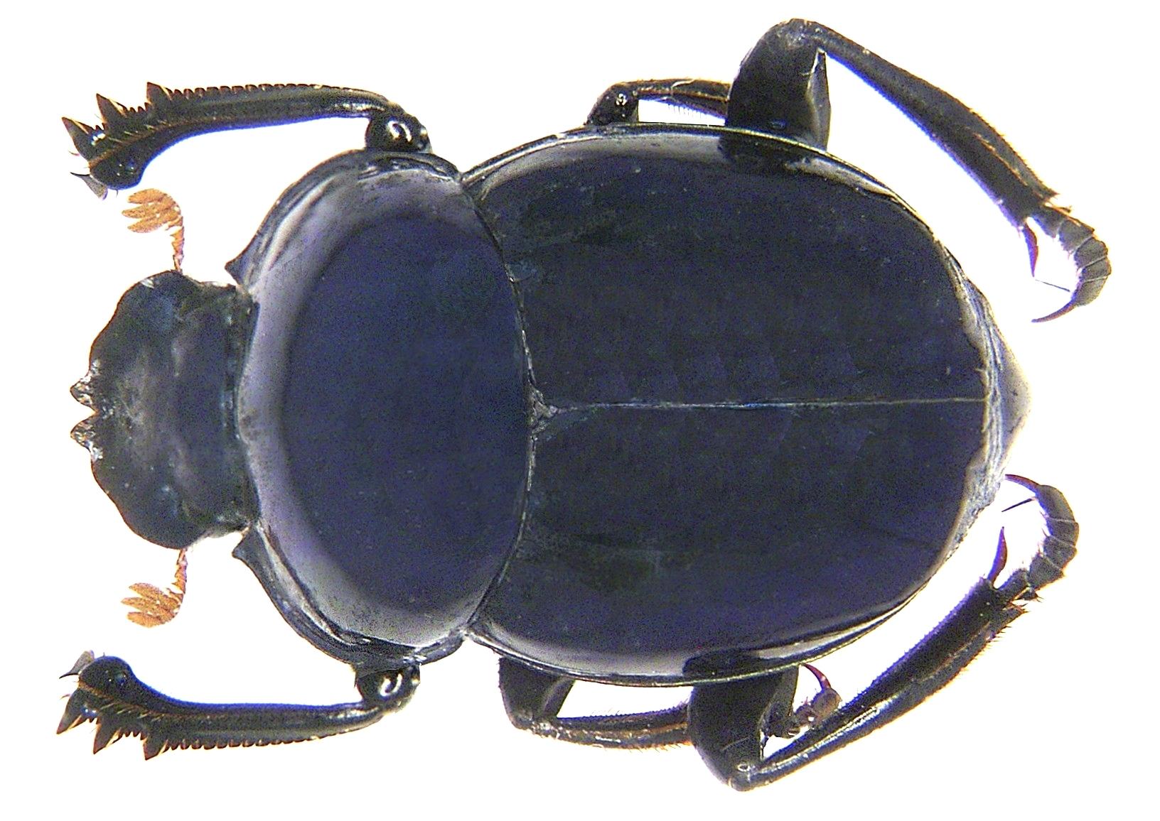 Image of <i>Canthon</i> (<i>Goniocanthon</i>) <i>smaragdulus</i> (Fabricius 1781)