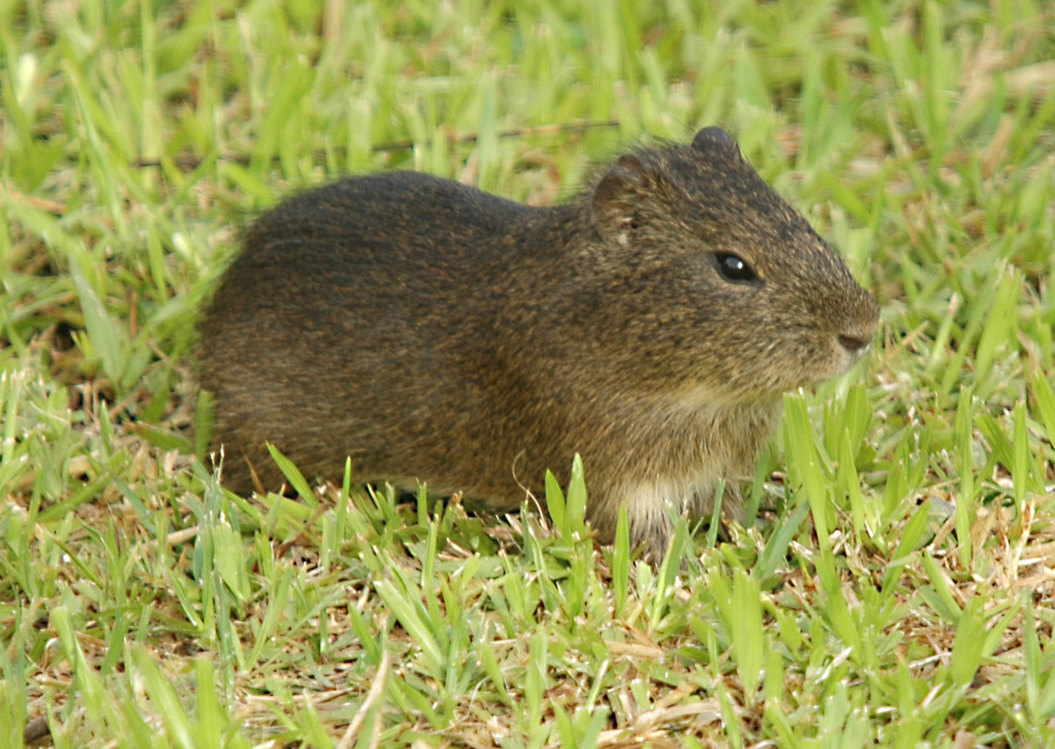 Image of Cavy