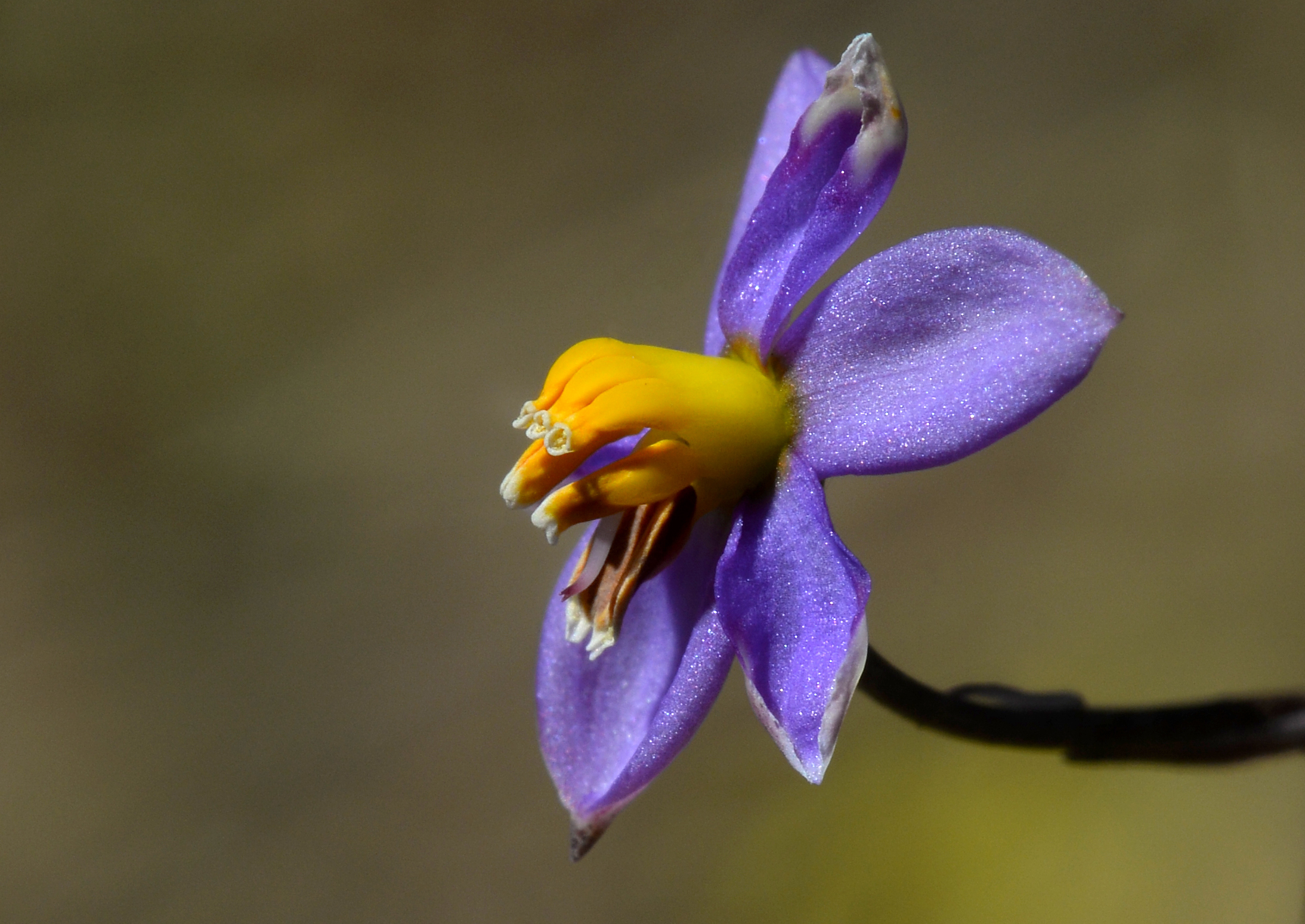 Image of <i>Cyanella hyacinthoides</i> Royen ex L.