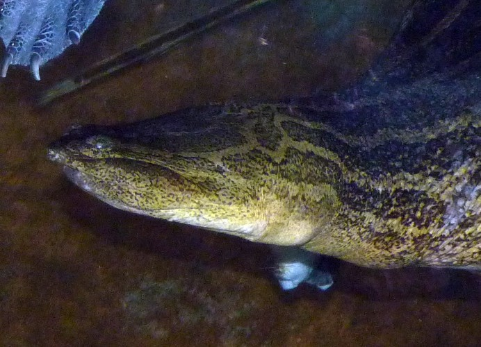 Image of Indian Narrow-headed Softshell Turtle