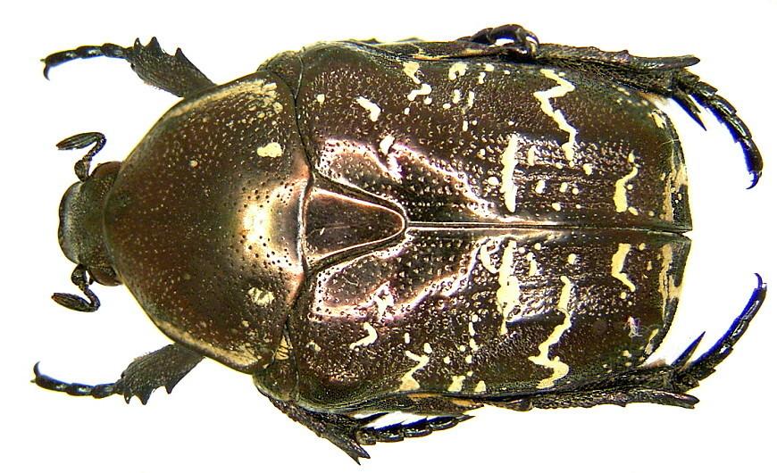 Image of <i>Protaetia <i>brevitarsis</i></i> ssp. brevitarsis