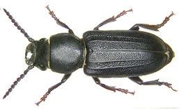 Image of black longicorn beetle