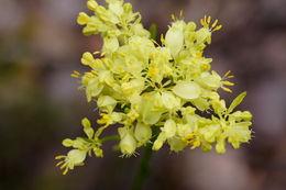 Image of <i>Glischrocaryon aureum</i> (Lindl.) Orchard