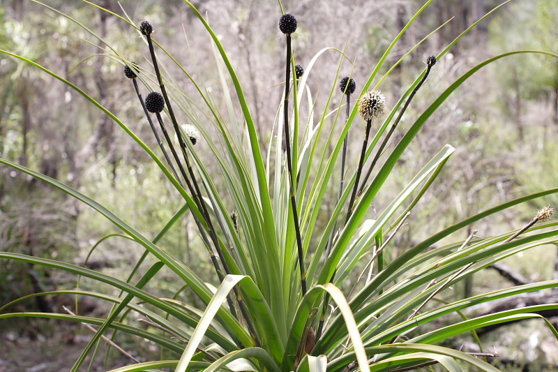 Image of <i>Dasypogon hookeri</i> J. Drumm.