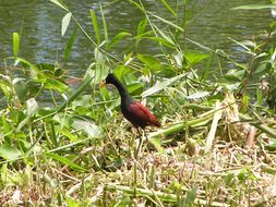 Image of Northern Jacana