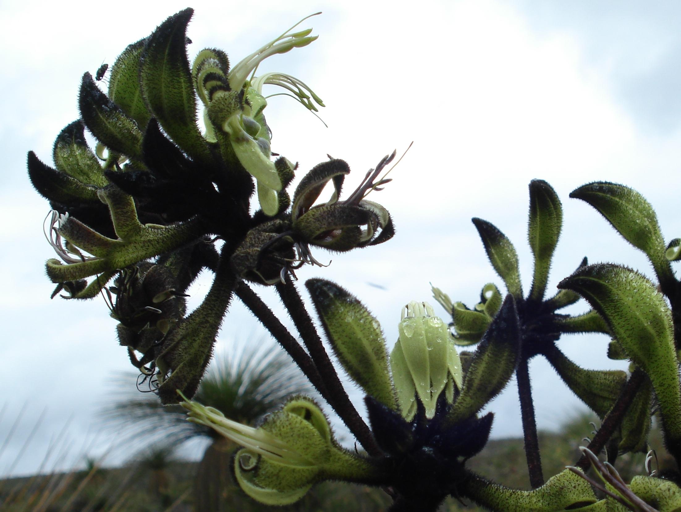 Image of Black Kangaroo Paw