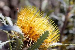 Image of <i>Dryandra formosa</i> R. Br.