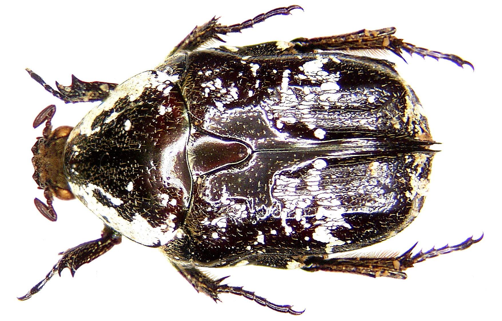 Image of <i>Pseudoprotaetia burmeisteri</i> Arrow 1941