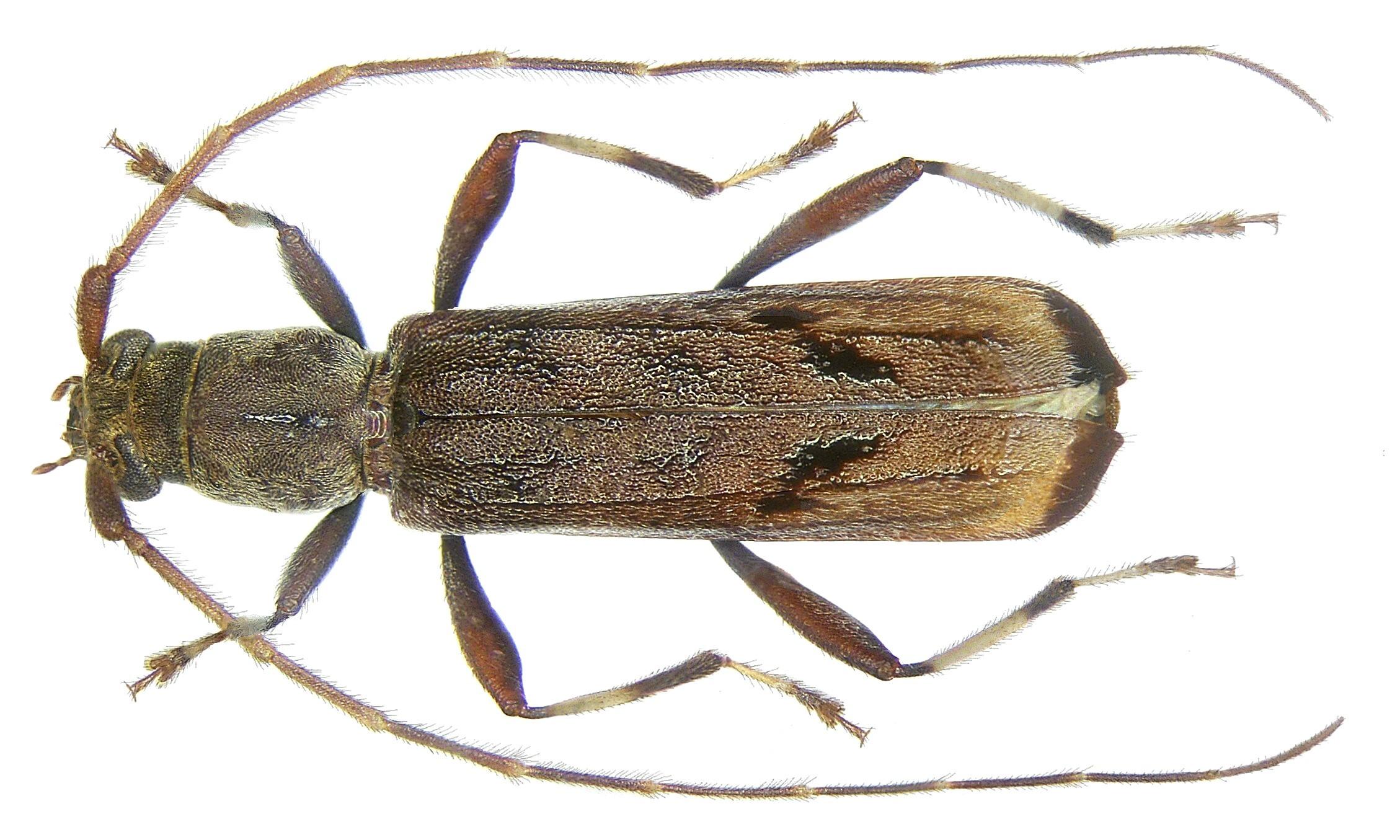 Image of <i>Araespor callosus</i> Gressitt 1959
