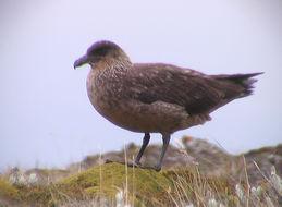 Image of Chilean Skua
