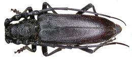 Image of <i>Cerambyx carinatus</i> (Küster 1845)